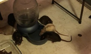 Inside the Home of a Rat Hoarder