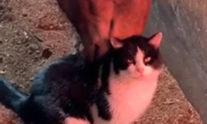 Kitty Loves Being Groomed by Horse Friend