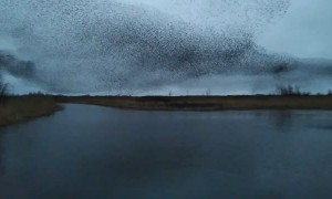 Starling Dance Captivates the Evening Sky