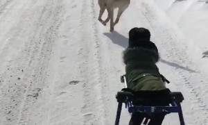Paralyzed Dog Enjoys a Run in the Snow