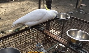 Cockatoo Changing Out Water Bowls