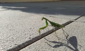 Mantis Walks Down Spanish Street