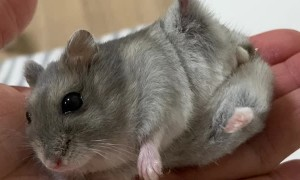 Hamster Practicing Yoga