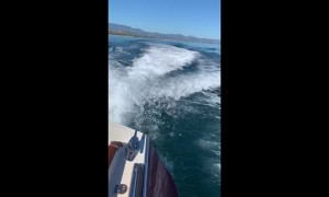 Whales Swimming in Boat's Wake