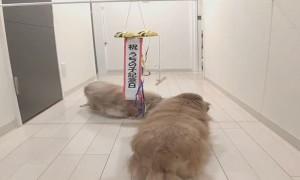 Adoption Anniversary Surprise for Adorable Doggos
