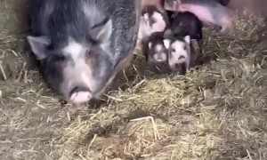 Mama Pig Protective of Piglets