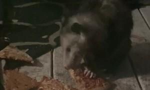 Pizza Loving Possum Enjoys Late Night Feast