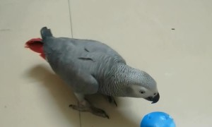 Rainbow The Grey Parrot Identifying Shapes