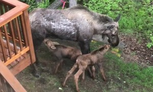 Moose Mom Feeds Hungry Calves Behind House
