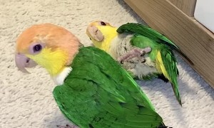 Berliner's Caique's Play with Plastic Egg