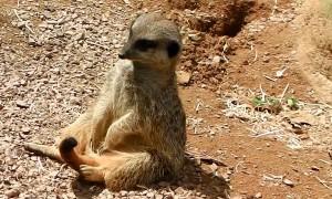 Drowsy Meerkat Dozes Off