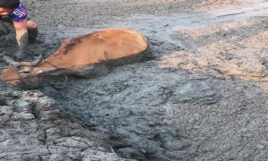 Determined People Save Cow from Deep Mud