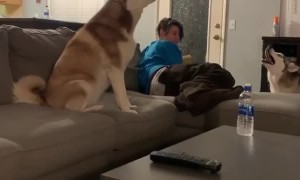 What it sounds like when huskies have an argument