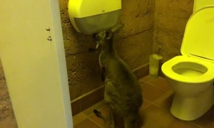 Kangaroo Joins in on the Toilet Paper Panic