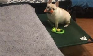 French Bulldog just wants you to play with him