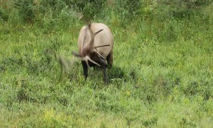 Bull Elk Rolling Around in the Grass