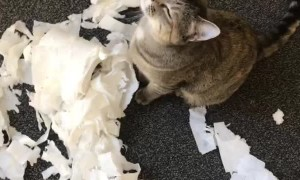 Cat Destroys Toilet Paper Midst Coronavirus Toilet Paper Hoarding