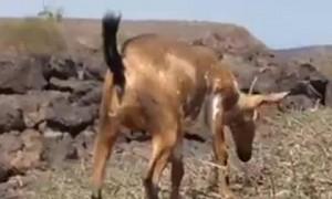 Goats Really Do Climb Trees