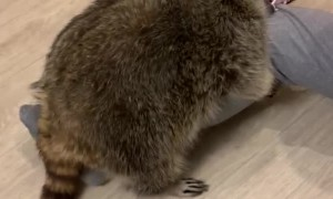 Playtime with Pet Raccoon