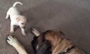 Giant English Mastiff gently plays with fearless puppy