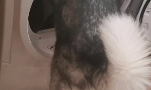 Husky Hops Into Dryer