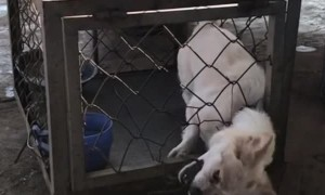 Escape Artist Dog  Exits Cage