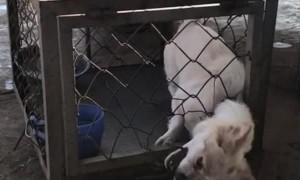 Escape Artist Dog  Exits Cage