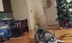 Husky Holds His Christmas Stuffed Toy High