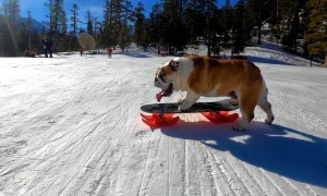 Skilled Bulldog Loves to Snow Skate