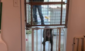 Dog Skillfully Jumps Over Both Baby Gates