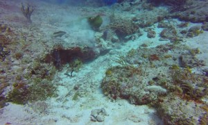 Moray Eel Works for Meal in Cozumel's Waters