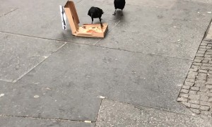 Pizza Loving Crows Chow Down