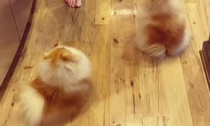 Cute Pomeranians do the daily routine to get treats