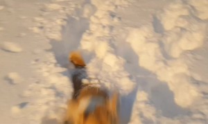 Corgi Struggles to Walk in Deep Snow