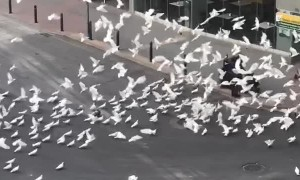 Flock of Pigeons Surround Lone Shopper