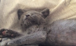 Kitten adorably cries when human stops petting It