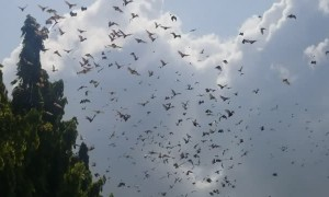 Thousands of Bats Flying During Daytime