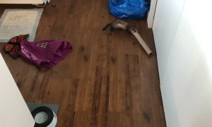 Playful Ferret Has Fun with Paper Towel Roll