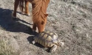 Tortoise and Pony are Pasture Buddies