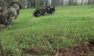 Man Catches Turkey with His Bare Hands Using Decoy