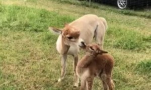 Alpaca love is just too sweet to miss