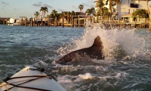 Dolphins Playing Next to Kayakers