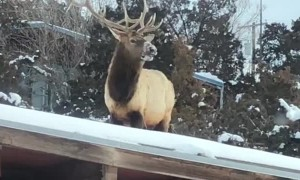 Elk Eating On Roof