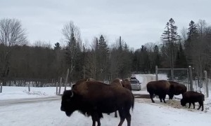 Bison Blocking the Way