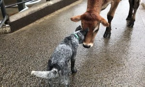 Blue Heeler and Steer Playfully Butt Heads