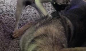 Doggo Trying to Massage Friend Before Movie