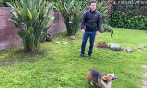 Corgi Plays Catch and Throws the Ball Back