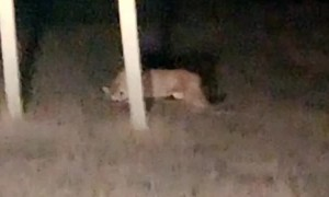 Montana Motorist Observes A Mountain Lion Having a Roadside Meal