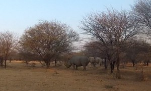 Walking only feet away from extremely rare white rhinos