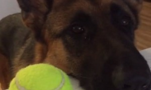 German Shepherd makes it clear that he's ready for playtime